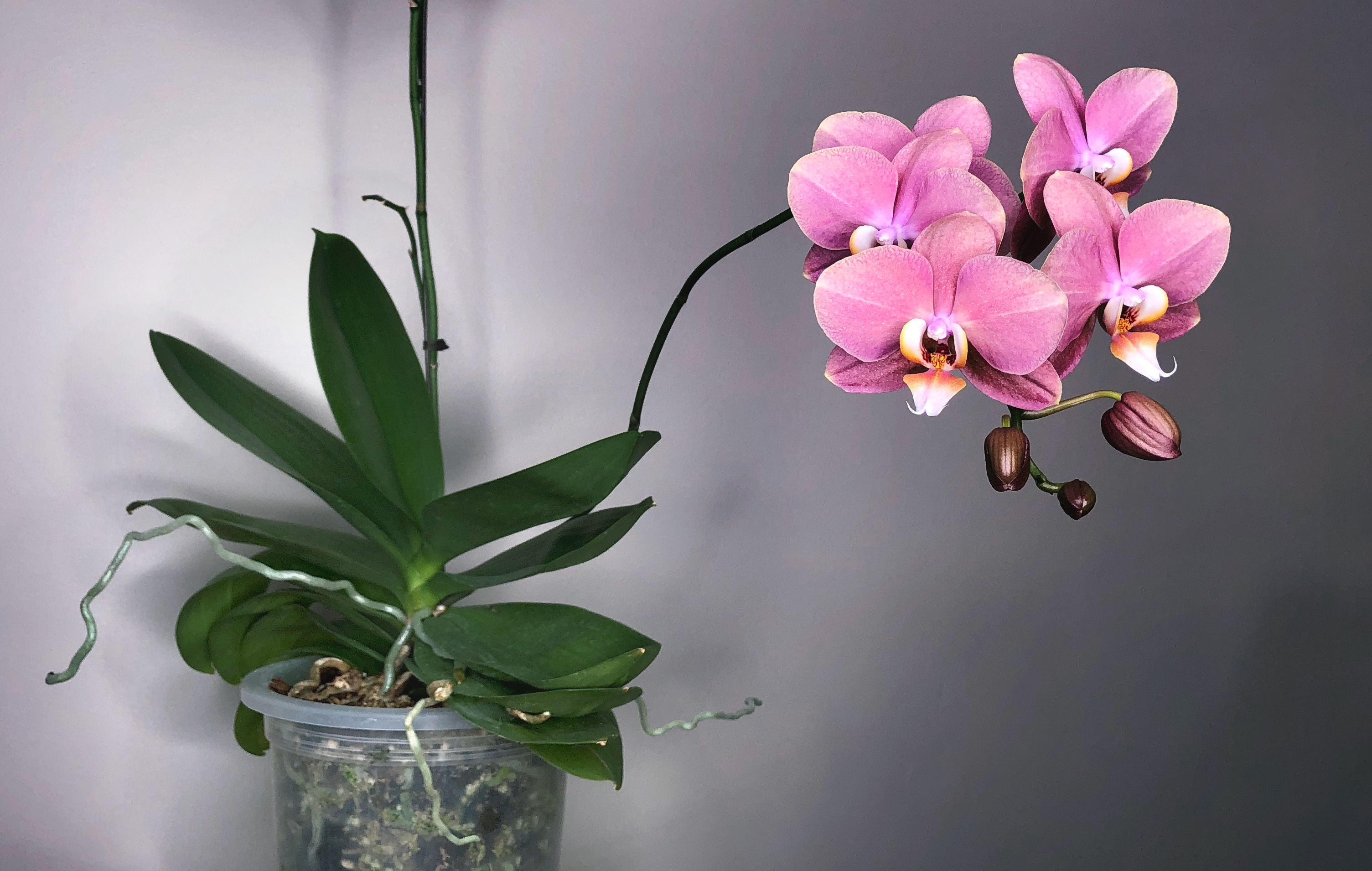 Beginner How To Rebloom Phalaenopsis Orchid Care Culture Here